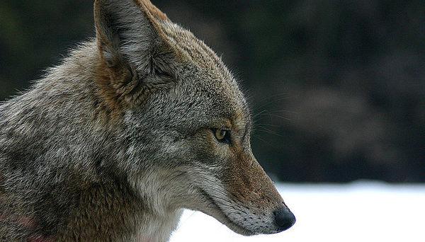 800px-coyote_portrait-thumbnail2