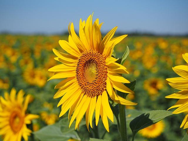 sun-flower-1521864_640